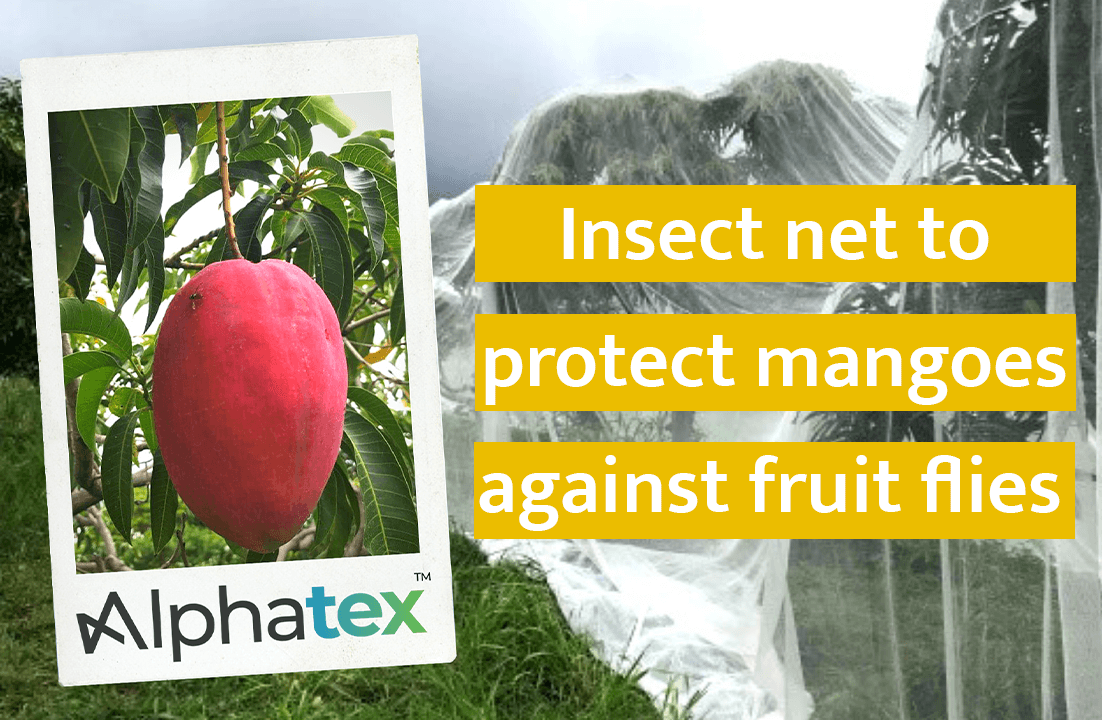 Insect net to protect mango trees against fruit flies