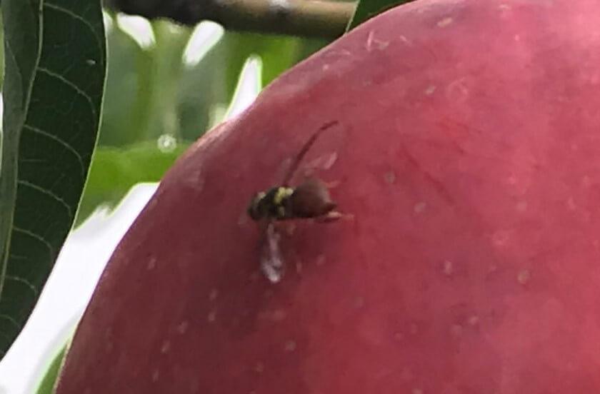 Fruit fly on mango.